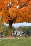Ganzen in de herfst Stock Fotografie