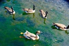 Ganzen die in kleurrijk water zwemmen Royalty-vrije Stock Foto's