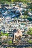 Ganzen die op de afvalstapel voeden stock foto's
