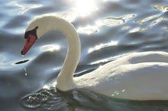 Ganzen die op het meer van Zürich drijven details van Royalty-vrije Stock Foto