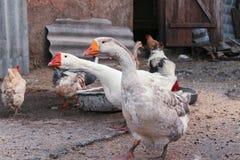 Ganzen, eenden en kippen in de vogel` s werf Stock Afbeeldingen