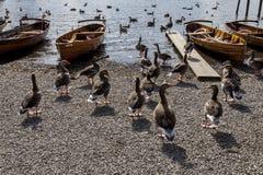 Ganzen en het Roeien boten op kust van Derwent-Water, Keswick Royalty-vrije Stock Fotografie