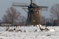 Ganzen en zwanen bij de molen Stock Foto's