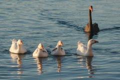 Ganzen en zwarte zwaan op rivier stock afbeelding