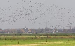 Ganzen, Geese royalty free stock photography
