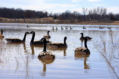 Ganzen in het meer stock foto