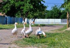 Ganzen op een grasgebied in Roemenië Royalty-vrije Stock Foto's