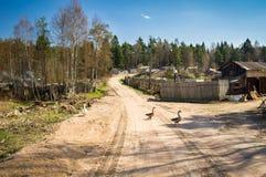 Ganzen op een landelijke weg Stock Afbeelding