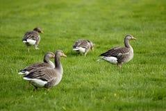 Ganzen op grasgebied Royalty-vrije Stock Afbeelding