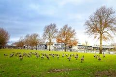 Ganzen in Tom McCall Waterfront Park royalty-vrije stock afbeeldingen