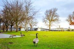 Ganzen in Tom McCall Waterfront Park stock afbeelding