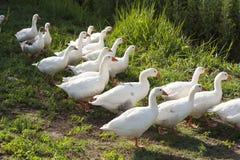 Ganzeneenden over gevogelteyard een in werking worden gesteld vreedzame de vroege zomernacht die Plattelandsscène met ganzenfoto royalty-vrije stock afbeelding