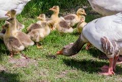 Ganzenfamilie Stock Fotografie