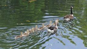 Ganzenfamilie het zwemmen stock afbeeldingen