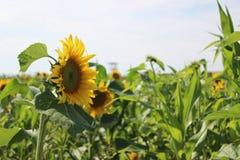 Ganzes Feld von hellen Sonnenblumen Stockbild