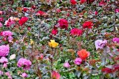 Ganzes Feld von Rosen von verschiedenen Farben nah oben stockfotografie