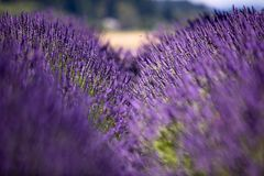 Gap between two adjacent rows on lavender. With a view of wheat field in the background royalty free stock photos