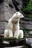 gapa för björn som är polart Arkivbilder