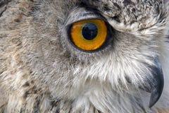 gapić się sowy target1742_0_ Obrazy Stock