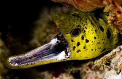Gaping fimbriated moray eel Stock Image