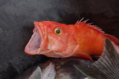 The gaping mouth of a redfish. Royalty Free Stock Photos