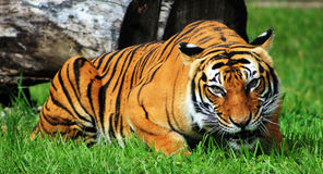 Free Gaping Mouth Tiger Stock Photography - 29856732