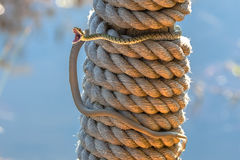 Gaping Spotted Bush Snake on Pole Stock Image