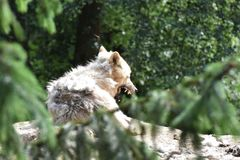 Gaping White Arctic Wolf stock photography