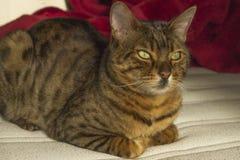 Gapiowskiej pomarańcze pasiasty kot z zielonymi oczami Obrazy Stock