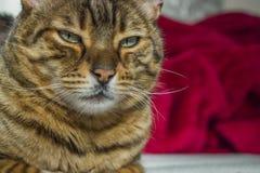 Gapiowskiej pomarańcze pasiasty kot z zielonymi oczami Obraz Stock