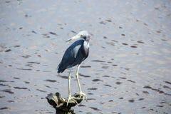 Garça-real azul no parque estadual do Huntington Beach, ilha South Carolina de Pawleys fotos de stock