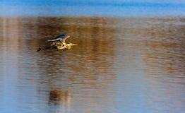 Garça-real azul sobre um lago Fotografia de Stock Royalty Free