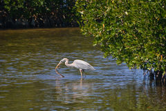 A garça-real azul trava a serpente dos manguezais Fotografia de Stock Royalty Free