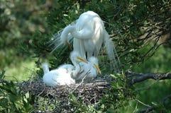 Garça-real branca e seus bebês fotos de stock royalty free