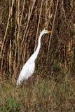 Garça-real branca na vegetação do pântano imagens de stock