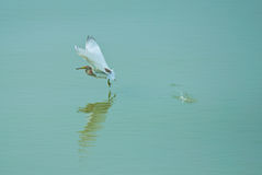 Garça-real chinesa da lagoa Fotos de Stock