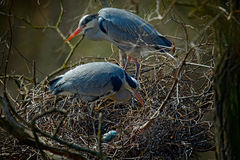 Garça-real cinzenta, Ardea cinerea, par de pássaros de água no ninho com ovos, tempo do aninhamento, comportamento animal Foto de Stock Royalty Free