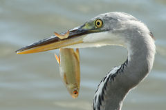 Garça-real cinzenta com um peixe Foto de Stock Royalty Free