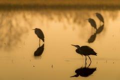 Garça-real cinzenta no lago na cinematografia do Ardea da silhueta do ajuste do sol imagem de stock