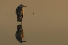 Garça-real cinzenta no lago na cinematografia do Ardea da silhueta do ajuste do sol imagem de stock royalty free