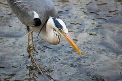 Garça-real cinzenta que come peixes Imagens de Stock