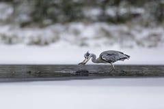 Garça-real cinzenta que trava um peixe no lago durante o inverno Fotografia de Stock