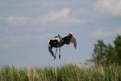 Garça-real cinzenta - um pássaro bonito, e um grandes aviador e caçador fotografia de stock