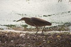 Garça-real da lagoa que procura o alimento Imagens de Stock