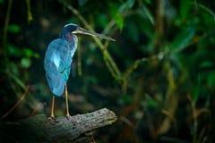 A garça-real de Agami, agami de Agamia, pássaro hiden na garça-real tropica escura da floresta na vegetação do verde da natureza  Fotos de Stock Royalty Free