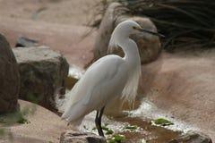 Garça-real de alimentação no jardim zoológico 1 de Phoenix Imagens de Stock Royalty Free