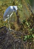 Garça-real de azul pequeno adulta (caerulea do Egretta) (o branco morph) Foto de Stock