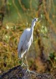 Garça-real de azul pequeno adulta (caerulea do Egretta) (o branco morph) imagens de stock