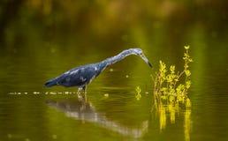 Garça-real de azul pequeno adulta da pesca foto de stock