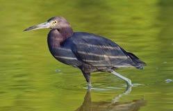 Garça-real de azul pequeno ( Egretta caerulea) pesca Fotografia de Stock